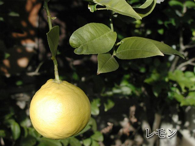檸檬(れもん)の写真(フリー素材)