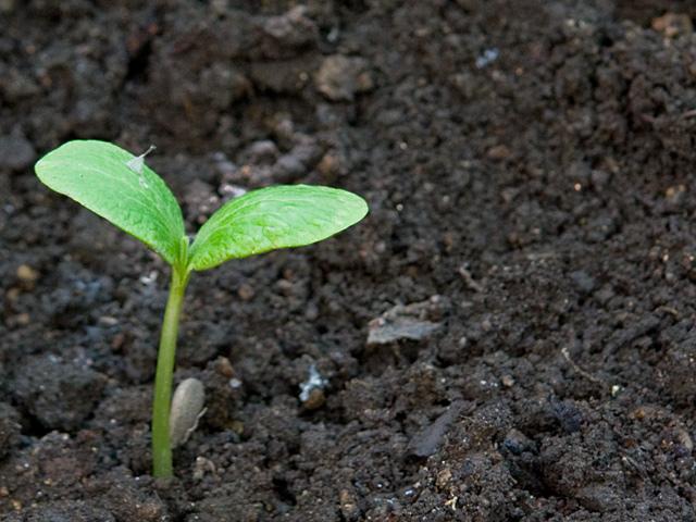 メロンの芽の写真(フリー素材)