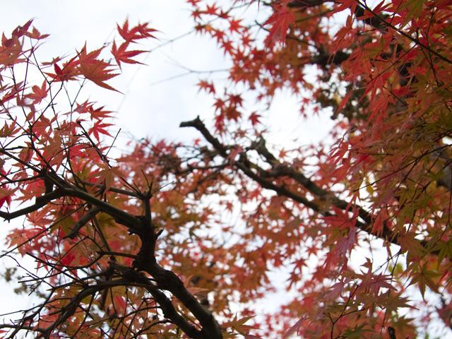 楓(かえで、もみじ)の写真(フリー素材)