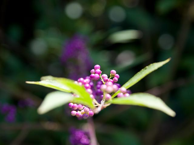 小紫(こむらさき)の写真(フリー素材)