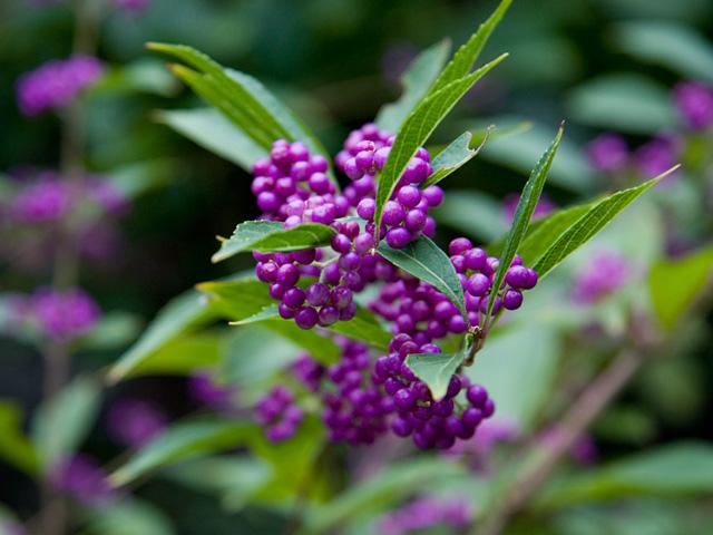 小紫(こむらさき)の実の写真(フリー素材)
