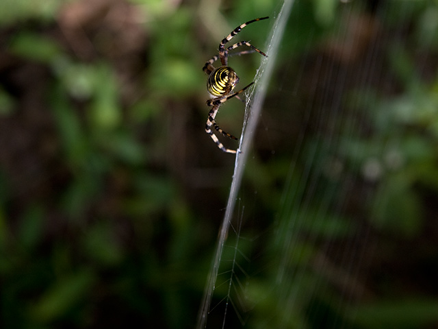 長黄金蜘蛛(ナガコガネグモ)の写真(フリー素材)