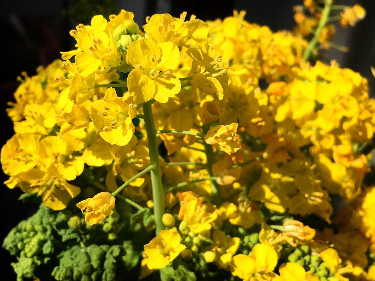 菜の花(なのはな)の写真(フリー素材)
