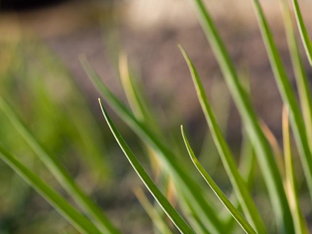 葱(ネギ)の写真(フリー素材)