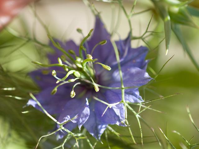 ニゲラ(黒種草)の写真(フリー素材)