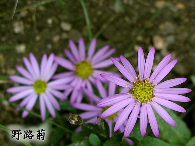 紺菊(こんぎく)の写真(フリー素材)
