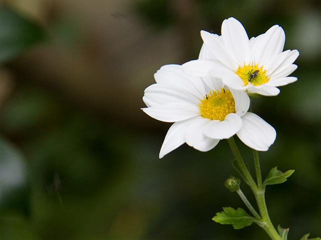 野路菊(のじぎく)の写真(フリー素材)