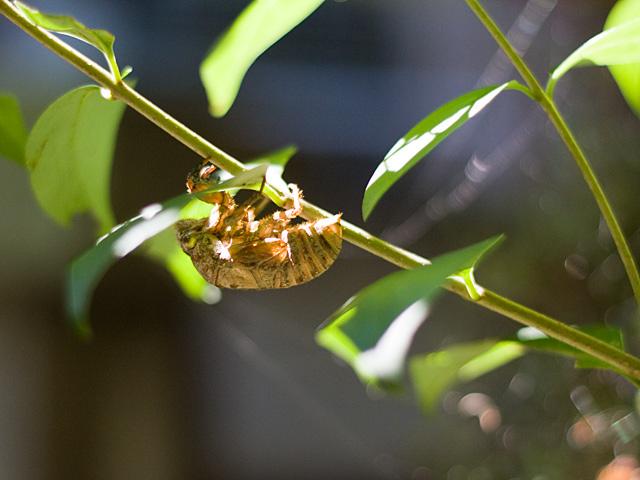 蝉(せみ)の抜け殻の写真(フリー素材)