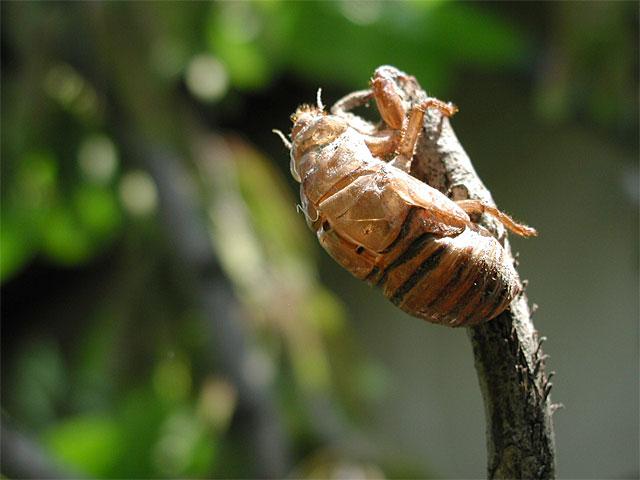 セミの抜け殻の写真(フリー素材)