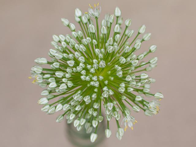 たまねぎの花の写真(フリー素材)