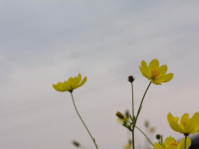 黄花コスモス(きばなコスモス)の写真(フリー素材)