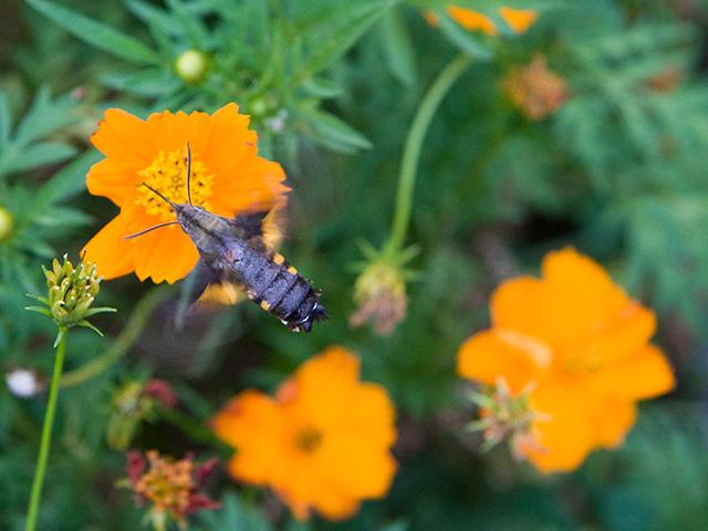 黄花コスモス(きばなコスモス)とホウジャクの写真(フリー素材)