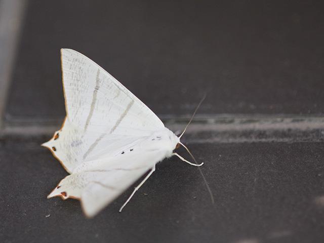ウスキツバメエダシャクの写真(フリー素材)