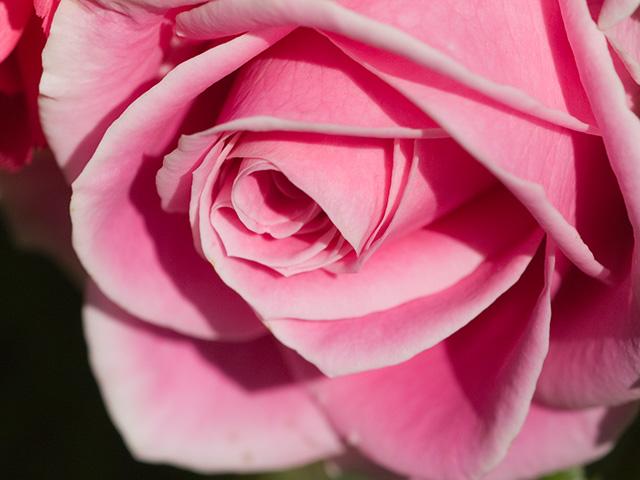 薔薇(バラ)の写真(フリー素材)