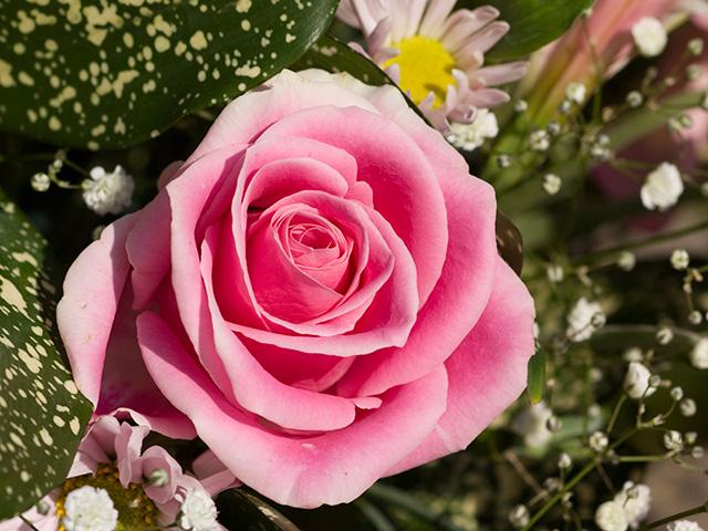 薔薇の画像 p1_16