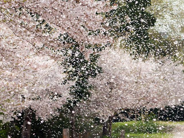 桜吹雪(さくらふぶき)の写真(フリー素材)