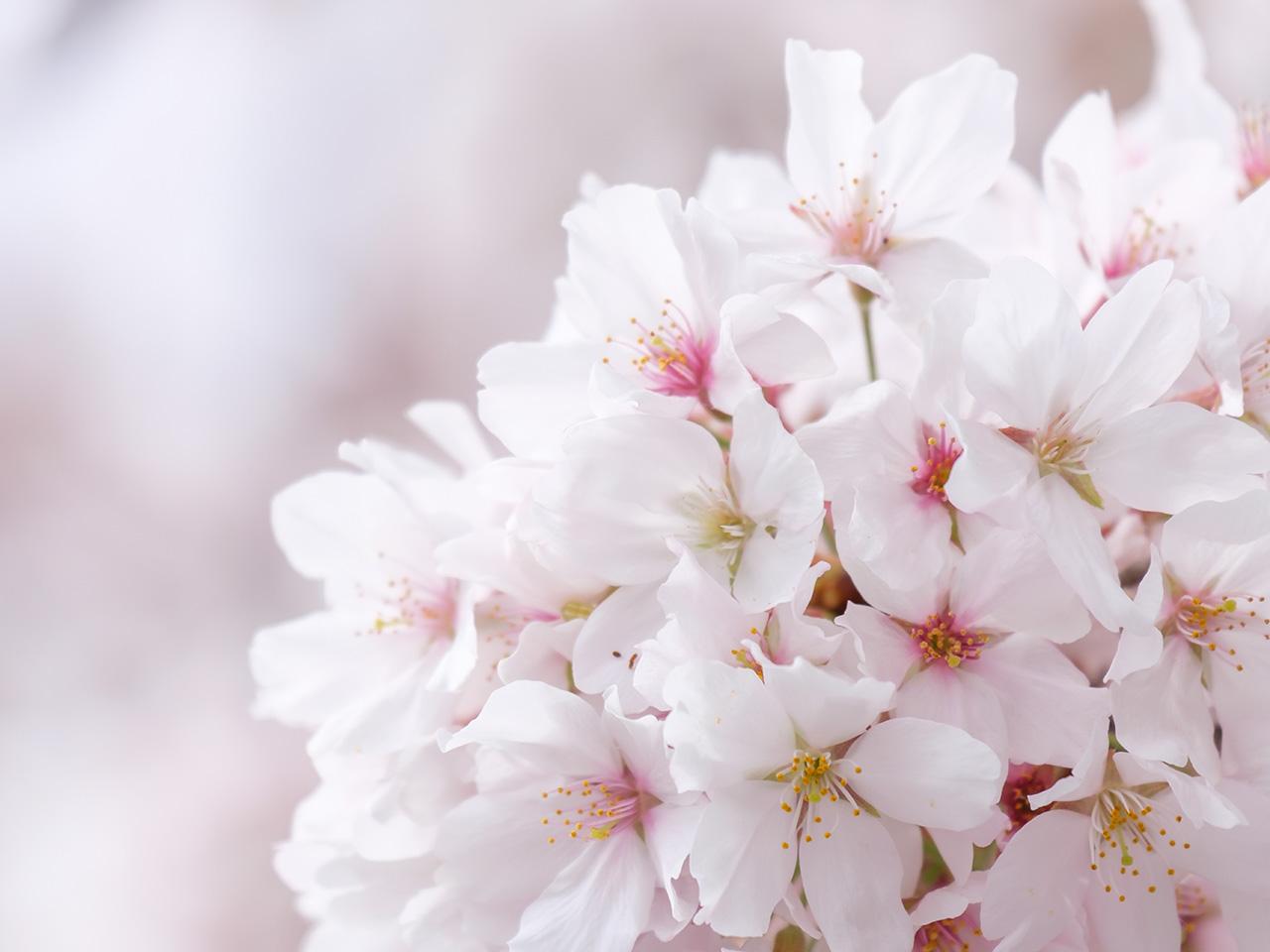 桜(さくら)の写真(フリー素材)