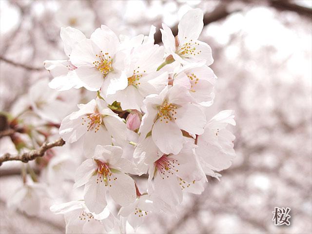 桜の写真(フリー素材)