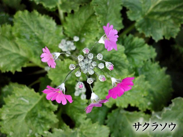 桜草(さくらそう)の写真(フリー素材)