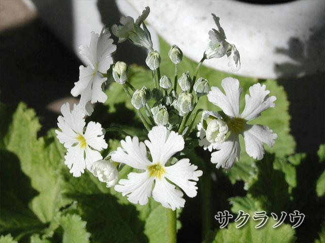 桜草(サクラソウ)の写真(フリー素材)