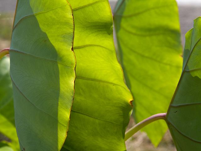 里芋(さといも)の葉の写真(フリー素材)