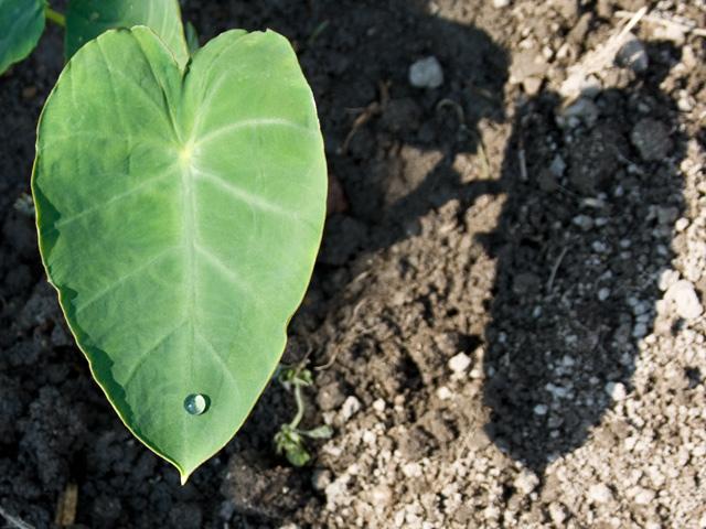 里芋(さといも)の葉と一滴の雫の写真(フリー素材)
