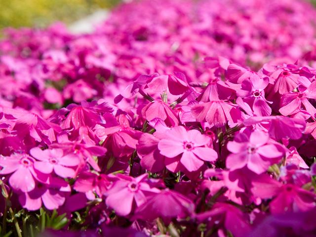 芝桜(シバザクラ)の写真(フリー素材)