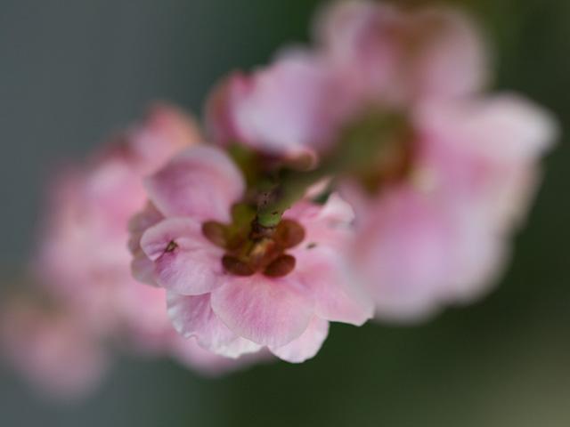 枝垂れ梅(しだれうめ)の写真(フリー素材) 枝垂れ梅(しだれうめ) 梅は、花もおしべも額もみんな