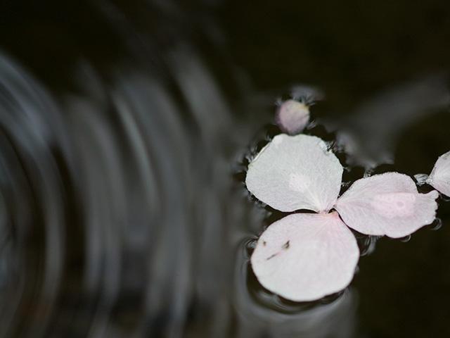 枝垂れ梅(しだれうめ)の花びらの写真(フリー素材)