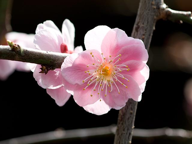 枝垂れ梅(しだれうめ)の写真(フリー素材)