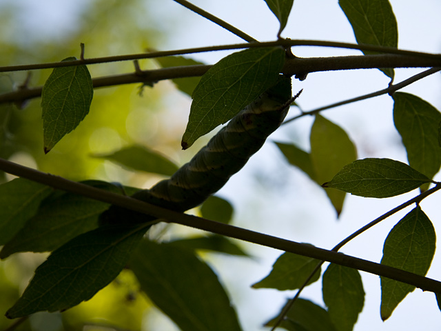シモフリスズメ(霜降雀蛾)の幼虫の写真(フリー素材)