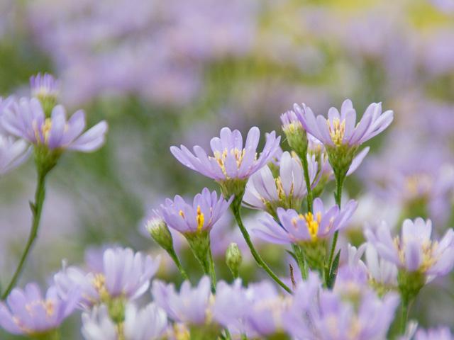紫苑(シオン)の写真(フリー素材)
