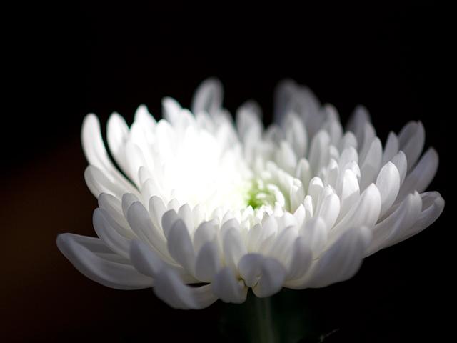白菊(しらぎく)の写真(フリー素材)