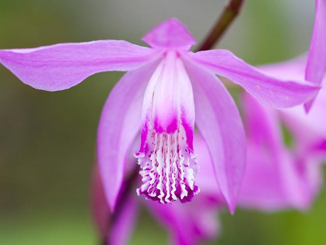 紫蘭(シラン)の写真(フリー素材)