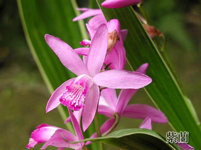 紫蘭(しらん)の写真(フリー素材)