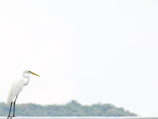白鷺(しらさぎ)の写真(フリー素材)