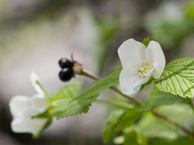 白山吹(シロヤマブキ)の写真(フリー素材)