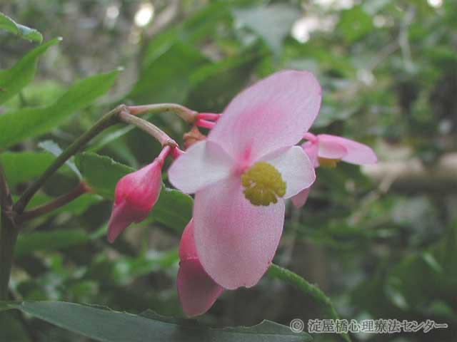 秋海棠(シュウカイドウ)の写真(フリー素材)