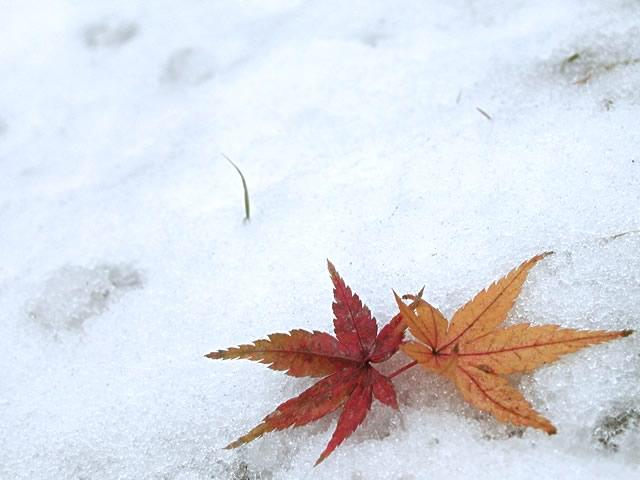 雪と楓(かえで)の写真(フリー素材)