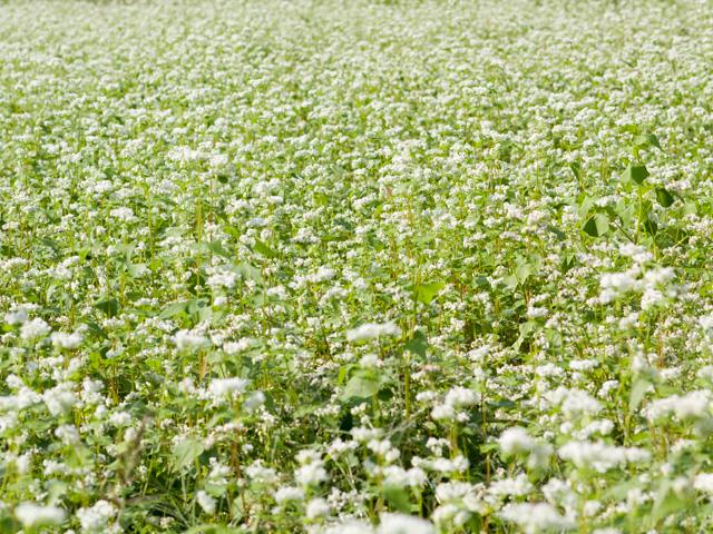 蕎麦(そば)の花の写真(フリー素材)