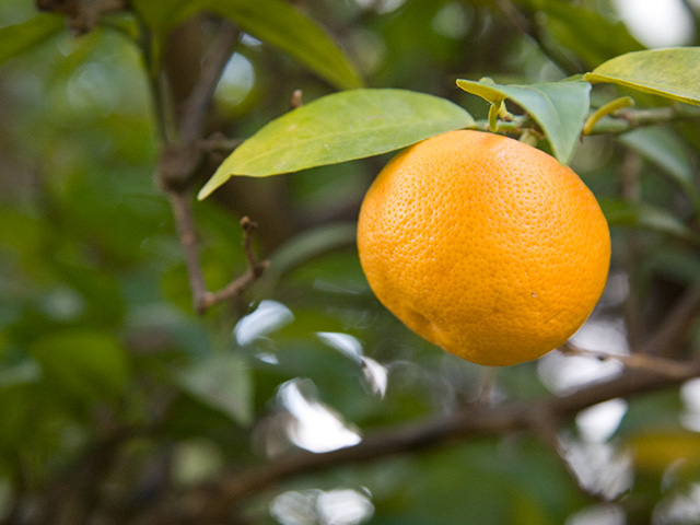 酢橘(すだち)の写真(フリー素材)
