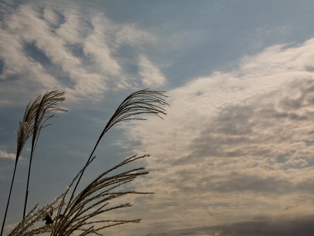 ススキといわし雲の写真(フリー素材)