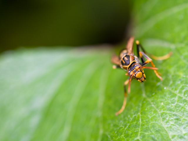 スズメバチ(すずめばち)の写真(フリー素材)