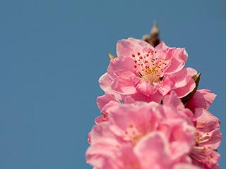 季節の花の写真を無料で提供。花桃(はなもも)。