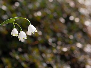 季節の花の写真を無料で提供。鈴蘭水仙(すずらんすいせん)。