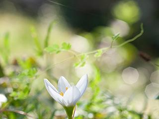 季節の花の写真を無料で提供。たますだれ。