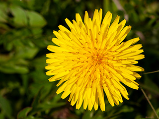 季節の花の写真を無料で提供。たんぽぽ(蒲公英)。