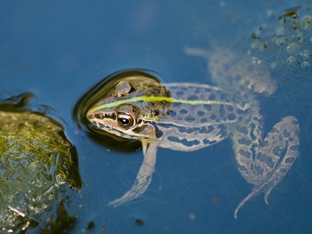 殿様蛙(トノサマガエル)の写真(フリー素材)