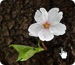 季節の花の写真を無料で提供。桜(さくら)。