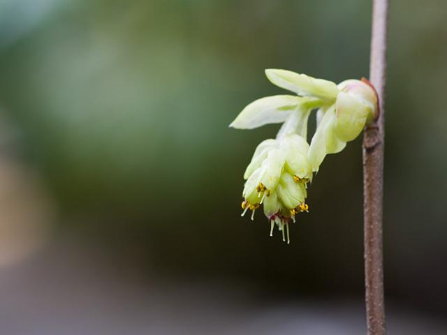 土佐水木(とさみずき)の写真(フリー素材)